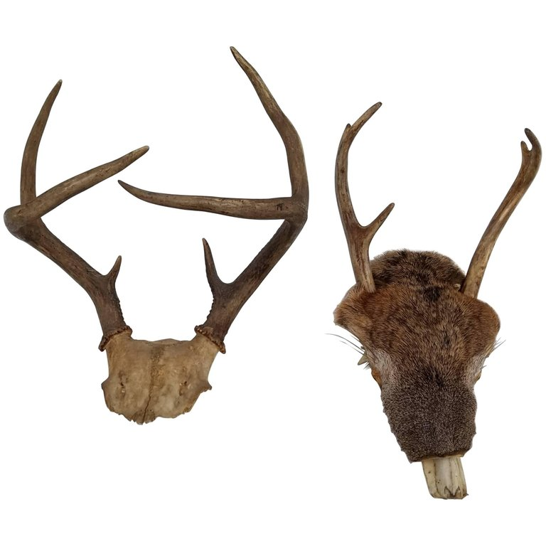 Pair Of Taxidermy Antlers